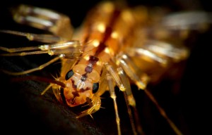 HouseCentipedeCloseup by Kevincollins 123