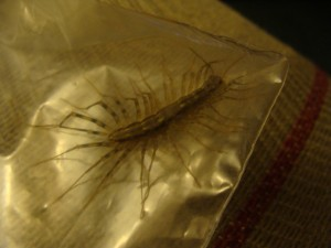 A House centipede / Scutigera Coleoptrata  (oh quit screaming!)