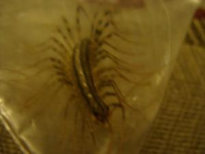 Scutigera Coleoptrata / House centipede fuzzy photo, ooo ick!